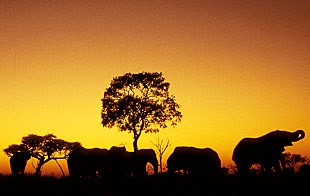 Elephants-at-Sunset.JPG